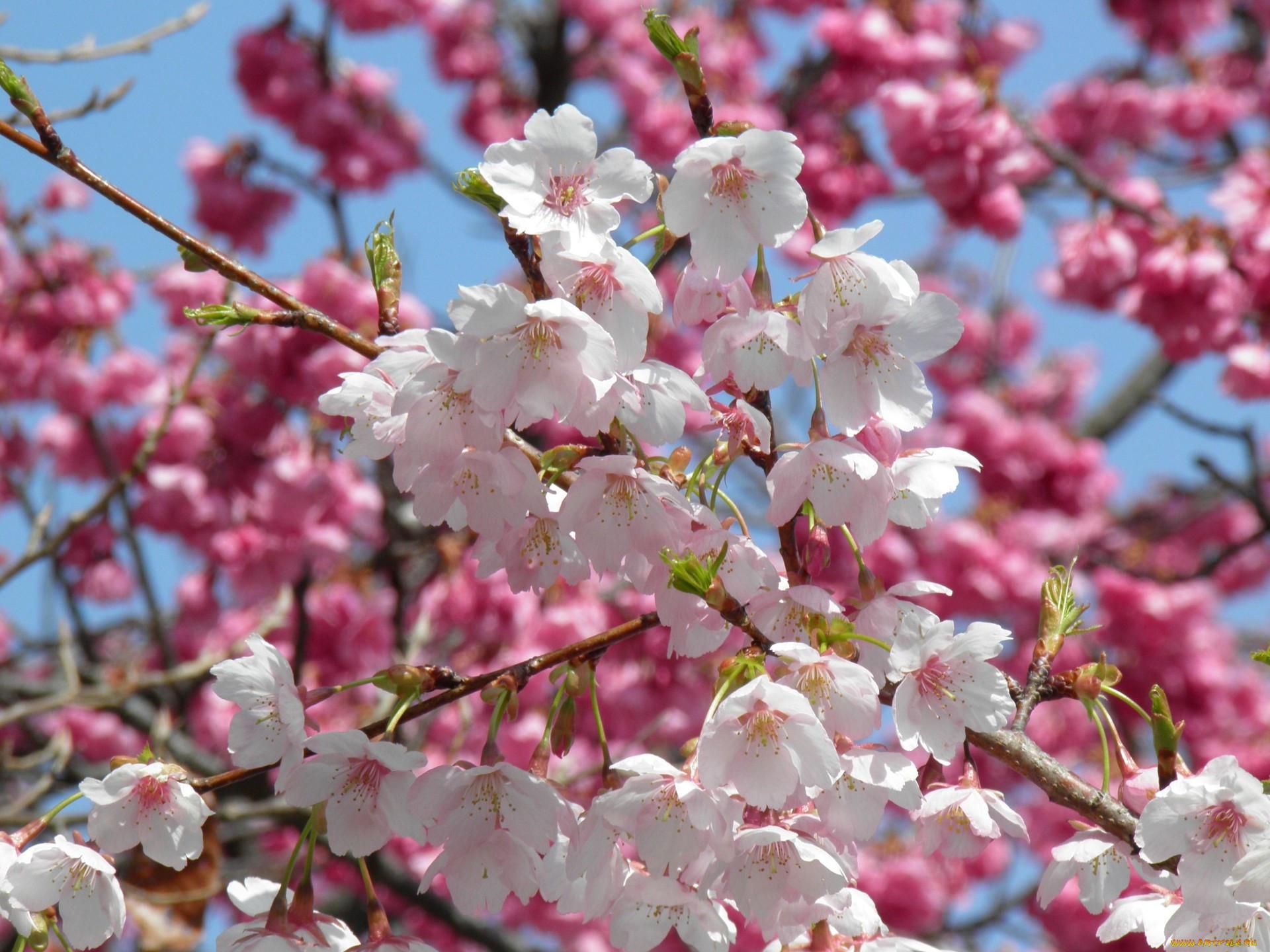 Фото с цветущими вишнями это